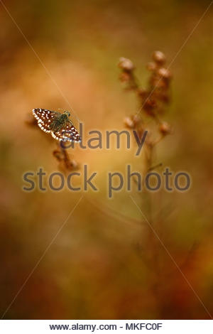 Grizzled Skipper (Pyrgus malvae) standing in the shade on a parched grass at the edge of a wood, in spring, in May, in Picardy - France. - Stock Photo