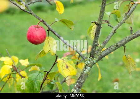 The last apple on a columnar tree in late fall - Stock Photo