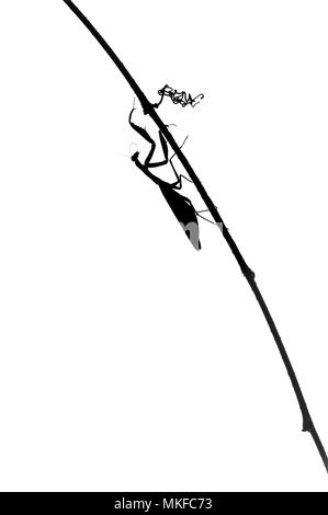 Silhouette of Praying Mantis (Mantis religiosa) on a stalk on white background - Stock Photo