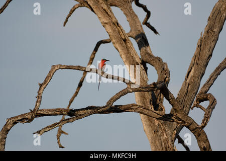 Southern Carmine Bee-eater (Merops nubicoides) on a dead tree, Botswana - Stock Photo