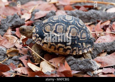 Leopard tortoise (Stigmochelys pardalis), Botswana - Stock Photo