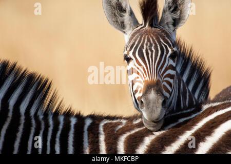Chapman's zebra (Equus quagga chapmani), Botswana - Stock Photo
