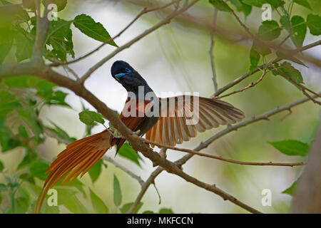 African paradise flycatcher (Terpsiphone viridis) on a branch, Botswana - Stock Photo