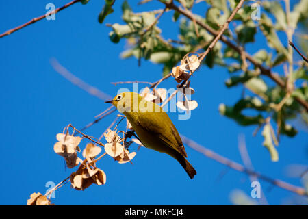 African Yellow White-eye (Zosterops senegalensis) on a branch, Botswana - Stock Photo