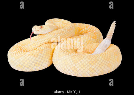 Albino western diamond rattlesnake (Crotalus atrox) on black background - Stock Photo