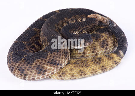 Western diamondback rattlesnake (Crotalus atrox) on white background - Stock Photo