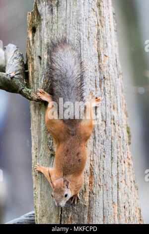 Red squirrel ((Sciurus vulgaris) on trunk, Kajaani, Kuhmo area, Finland - Stock Photo