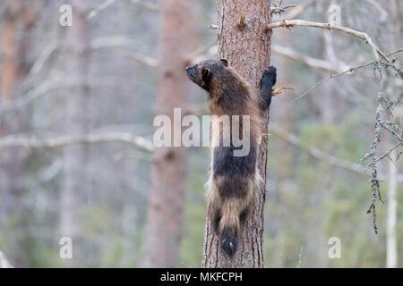 Wolverine (Gulo gulo) on a trunk, Kajaani, Kuhmo area, Finland - Stock Photo