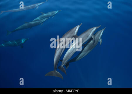 Long-nosed dolphins (Stenella longirostris) swimming at the bow of the boat, Mayotte - Stock Photo