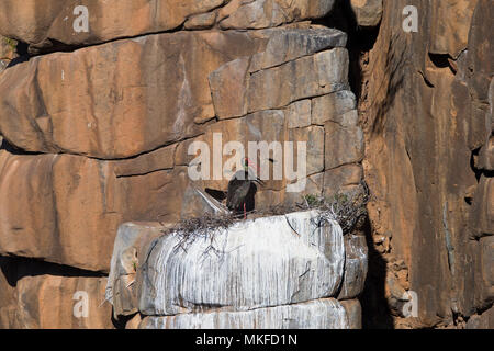 Black stork (Ciconia nigra), nest in a cliff, Upper Karoo, South Africa - Stock Photo