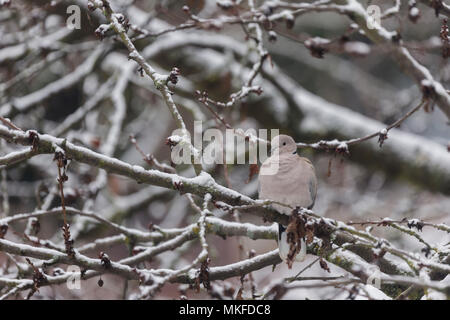 Eurasian Collared Dove (Streptopelia decaocto) on the branch of a tree in winter, Obernai, Bas Rhin, France - Stock Photo