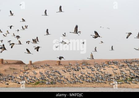 Demoiselle Crane (Anthropoides virgo) on riverbank. Kichan, a village in the Marwari Jain community, whose inhabitants feed every winter since 1970, the wintering Cranes, Thar Desert, Rajasthan, India - Stock Photo