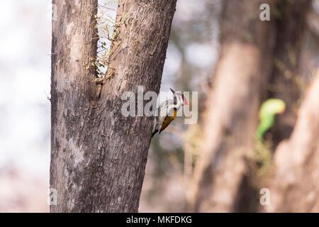 Black-rumped flameback (Dinopium benghalense) on a trunk, Ranthambore National Park, Rajasthan, India - Stock Photo