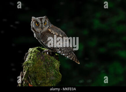 Eurasian Scops Owl (Otus scops) on a stump, Salamanca, Castilla y León, Spain - Stock Photo