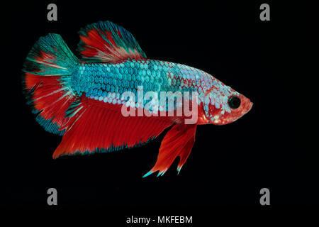 Betta 'Plakat Fancy Dragon' - Stock Photo