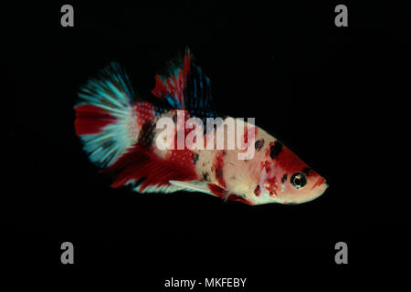 Betta 'Plakat Koi' - Stock Photo