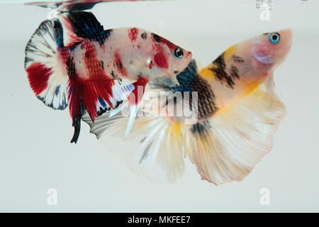 Betta 'Half Moon Koi', two males fighting - Stock Photo