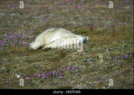 Polar bear (Ursus maritimus) lying on the tundra, Quebec-Labrador Peninsula, Canada - Stock Photo