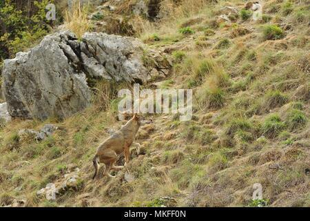 Italian Wolf (Canis lupus italicus) on a slope, Abruzzo, Italy - Stock Photo
