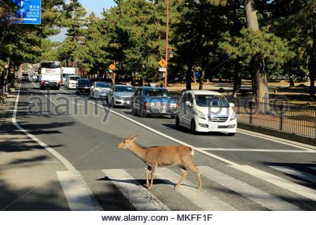 Sika Deer (Cervus nippon) doe crossing the street on a pedestrian crossing in Nara, Honshu, Japan. - Stock Photo