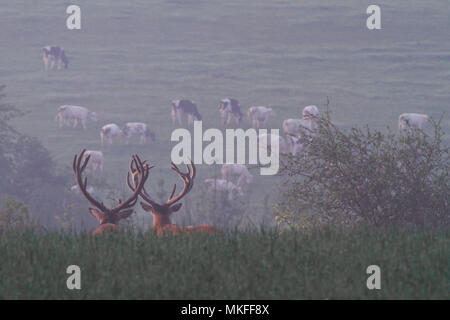 Red Deer (Cervus elaphus) males watching a herd of cows, Ardennes, Belgium - Stock Photo