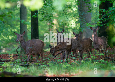 Red Deer (Cervus elaphus) hinds group in the undergrowth, Ardennes, Belgium - Stock Photo