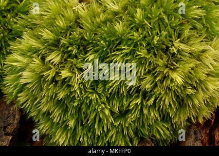 Pincushion moss (Leucobryum glaucum) undergrowth, Coye forest, Ile-de-France - Stock Photo