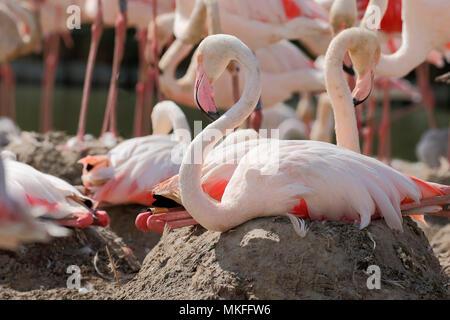 Greater Flamingo (Phoenicopterus roseus) brooding on mound, Tanzania