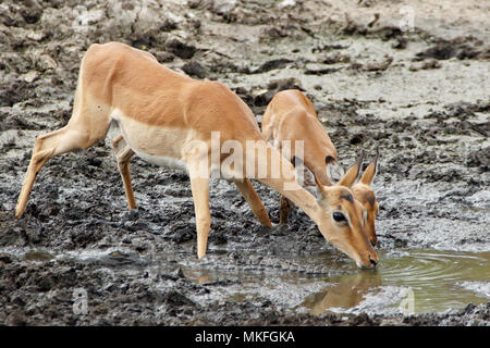Impala (Aepyceros melampus) drinking at a river in drought, Kruger, South Africa - Stock Photo