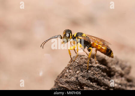 Digger wasp (Dinetus pictus) male on the lookout, Regional Natural Park of Northern Vosges, France - Stock Photo