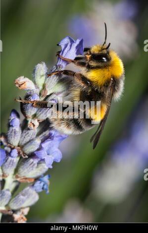 Bumblebee (Bombus hortorum) on lavender, Regional Natural Park of Northern Vosges, France - Stock Photo