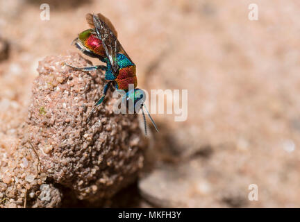 Jewel Wasp (Hedychrum niemelai) female, on the lookout Regional Natural Park of Northern Vosges, France - Stock Photo