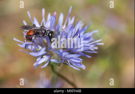 Tachysphex (Tachysphex obscuripennis) female on a Sheep's-bit (Jasione montana), Regional Natural Park of Northern Vosges, France - Stock Photo