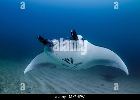 Reef Manta Ray (Manta alfredi) Komodo National Park, Indonesia - Stock Photo