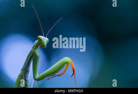 Portrait of Praying Mantis (Mantis religiosa), Cantabria, Spain - Stock Photo