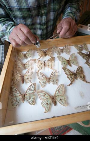 Scientific studies on butterfly Spanish moon moth (Graellsia isabellae), The Ports Natural Park, Terres de L'Ebre, Tarragona, Catalonia, Spain, Europe - Stock Photo