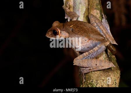 Madagascar Bright-eyed Frog (Boophis madagascariensis) defecating, Andasibe, Perinet, Alaotra-Mangoro Region, Madagascar