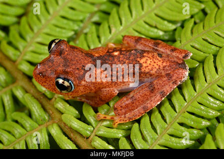 Fiery Bright-eyed Frog (Boophis pyrrhus), Andasibe, Perinet, Region Alaotra-Mangoro, Madagascar - Stock Photo
