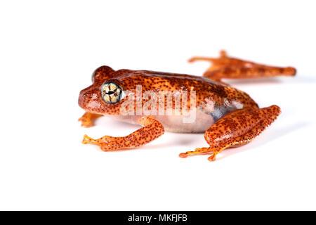 Fiery Bright-eyed Frog (Boophis pyrrhus) on white background, Andasibe, Perinet, Region Alaotra-Mangoro, Madagascar - Stock Photo