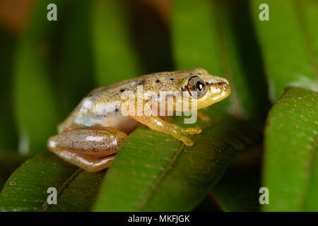 Spotted Madagascar Reed Frog (Heterixalus punctatus) with its daytime colors, Andasibe, Perinet, Alaotra-Mangoro Region, Madagascar - Stock Photo