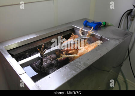 Organic poultry washing after slaughter, Provence, France - Stock Photo
