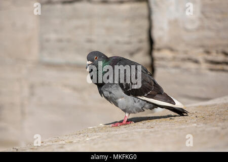 Common feral pigeon perched on a stone wall. Considered a nuisance or vermin because of the mess they create the humble bird is a common site in towns - Stock Photo