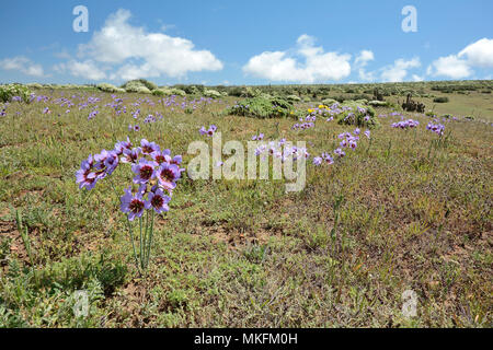 Glory of the Sun (Leucocoryne purpurea), Liliaceae endemic to Chile, ca. of Mantos of Hornillos, IV Region of Coquimbo, Chile - Stock Photo