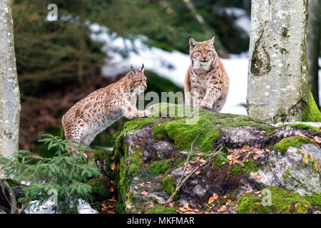 Eurasian lynx (Lynx lynx) female and cub on a mossy rock, BayerischerWald, Germany - Stock Photo