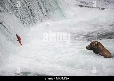 Grizzly (Ursus arctos horribilis) fishing, Katmai National park, Alaska, USA