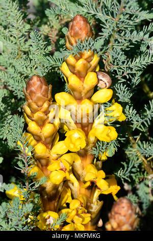 Cistanche (Cistanche phelypaea) flowers, Portugal