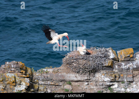 White stork (Ciconia ciconia) at nest, Cap Sardao, Portugal - Stock Photo