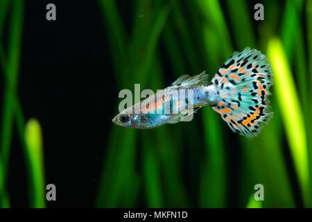 Guppy (Poecilia reticulata) 'Calico blue pink' male profil in aquarium - Stock Photo