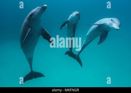 Indian Ocean bottlenose dolphin (Tursiops aduncus) in the lagoon, M'Tsamboro Islet, Mayotte - Stock Photo