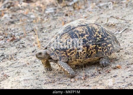Leopard tortoise (Geochelone pardalis), Motswari private reserve, South Africa - Stock Photo
